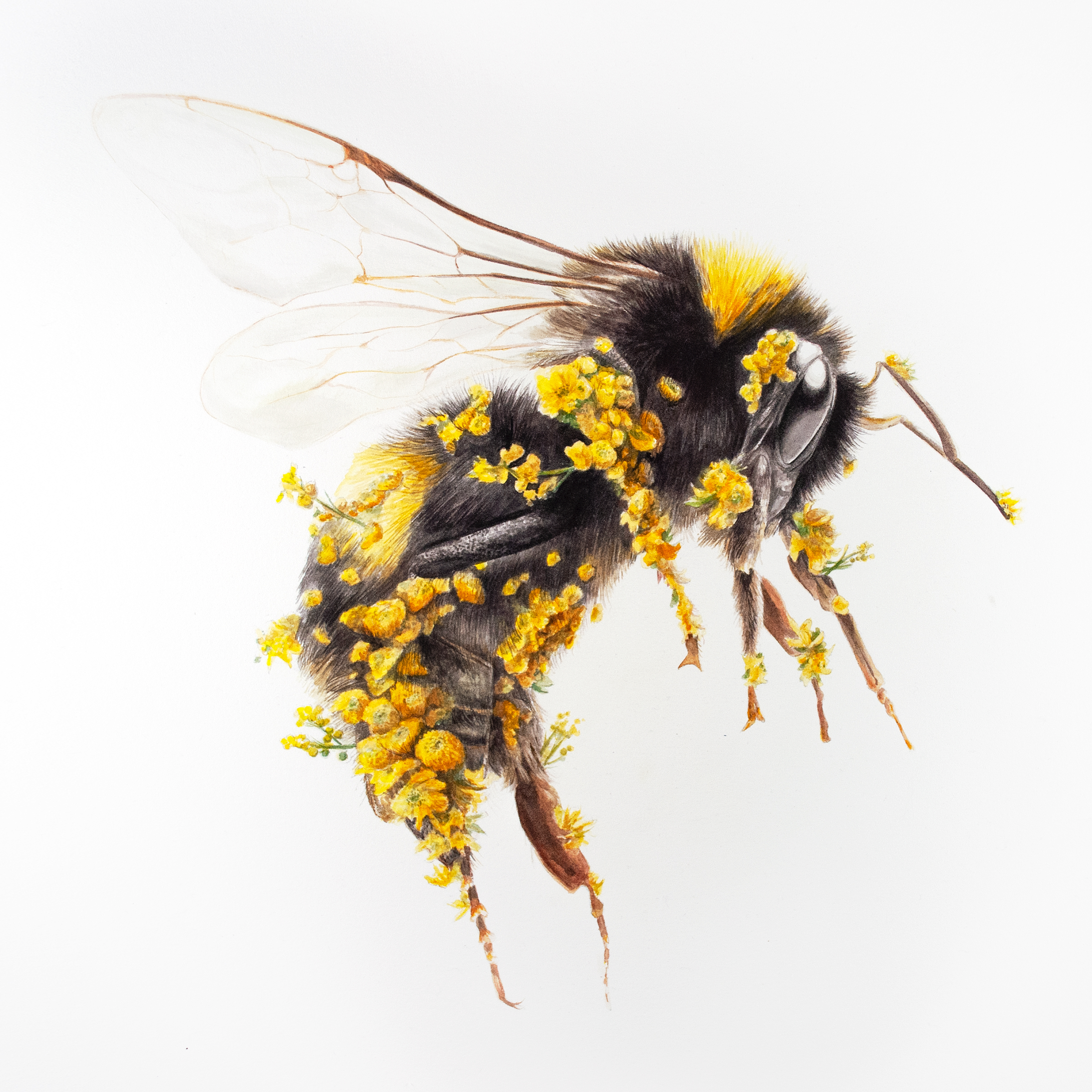 a yellow and black bumblebee covered in yellow flowers similar to the way pollen sticks to the insect's appendages